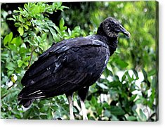 Acrylic Print featuring the photograph Black Vulture At The Everglades by Pravine Chester