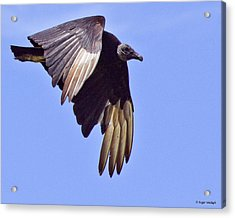 Black Vulture Acrylic Print by Roger Wedegis