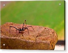 Black Widow Spider Male Acrylic Print by Douglas Barnett