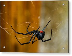 Black Widow Trap Acrylic Print by David Waldo