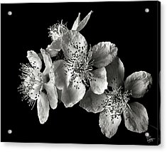 Blackberry Flowers In Black And White Acrylic Print