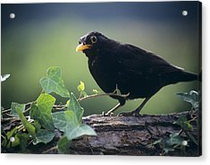 Blackbird Acrylic Print by David Aubrey