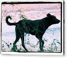 Blackdog Acrylic Print by Tammy Herrin