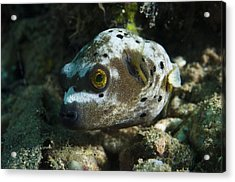 Blackspotted Puffer Acrylic Print by Matthew Oldfield