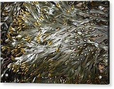 Bladder Wrack (fucus Vesiculosus) Acrylic Print by Dr Keith Wheeler