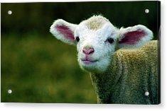 Bleating Lamb Acrylic Print