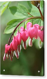 Bleeding Heart I Acrylic Print by Peg Toliver