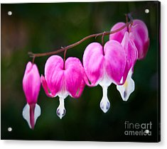 Bleeding Hearts 001 Acrylic Print by Larry Carr