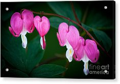 Bleeding Hearts 002 Acrylic Print by Larry Carr