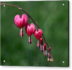 Acrylic Print featuring the photograph Bleeding Hearts 2 by David Lester