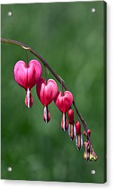 Acrylic Print featuring the photograph Bleeding Hearts by David Lester