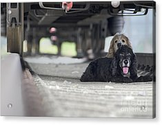Blonde And Black Dogs Acrylic Print by Mats Silvan