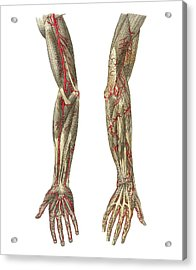 Blood Vessels Of The Arms, Artwork Acrylic Print by Mehau Kulyk