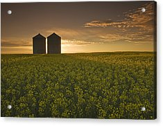 Bloom Stage Canola Field With Grain Acrylic Print by Dave Reede