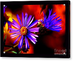 Blooming Asters Acrylic Print by Susanne Still