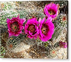Acrylic Print featuring the photograph Blooming Cactus by Jo Sheehan