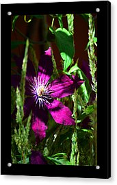Acrylic Print featuring the photograph Blooming Clematis by Susanne Still