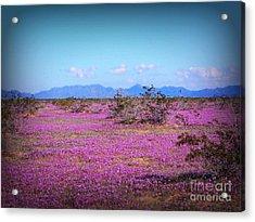 Blooming Desert Verbena Acrylic Print