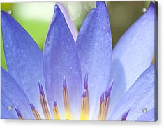 Blooming Lotus Acrylic Print by Maratsavalai Lertsirivilai