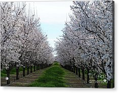 Blooming Orchard Acrylic Print