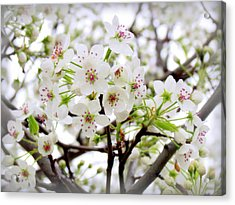 Acrylic Print featuring the photograph Blooming Ornamental Tree by Kay Novy