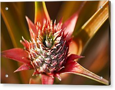 Blooming Pineapple Acrylic Print by Ron Dahlquist