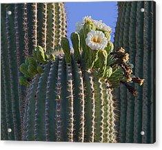 Blooming Saguaro   Sonora Desert Acrylic Print by Nathan Mccreery