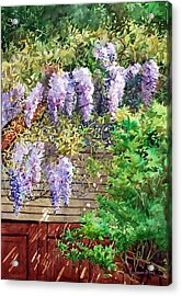 Blooming Wisteria Acrylic Print by Peter Sit