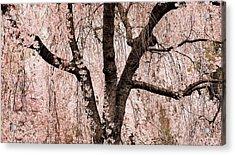 Blossom Rain Acrylic Print