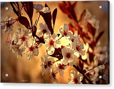 Blossoms 3 Acrylic Print