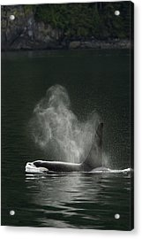 Blow Of A Killer Whale As It Surfaces Acrylic Print by Ralph Lee Hopkins