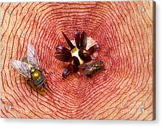 Blowflies On Stapelia Acrylic Print by Dant� Fenolio
