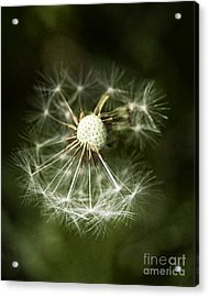 Blown Dandelion Acrylic Print