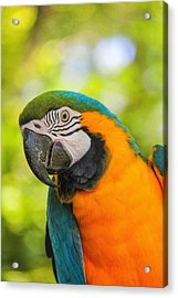 Acrylic Print featuring the photograph Blue And Gold Macaw by Peter Ciro