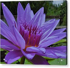 Blue And Purple Lotus Flower Acrylic Print