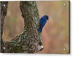 Blue Bird 2 Acrylic Print by Dan Wells
