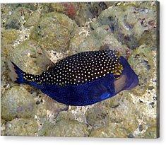Blue Box Puffer Fish Acrylic Print by Tony and Kristi Middleton
