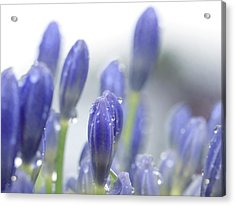 Blue Buds Acrylic Print