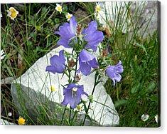 Acrylic Print featuring the digital art Blue Campanula Flower by Vicky Tarcau