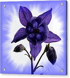 Blue Columbine Acrylic Print by Nick Kloepping