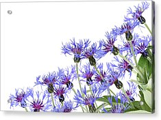 Acrylic Print featuring the photograph Blue Cornflowers Postcard by Aleksandr Volkov