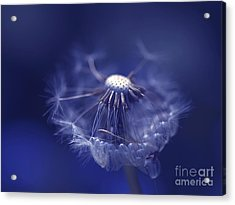 Blue Dandy Acrylic Print by Sharon Talson