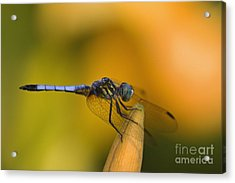 Blue Dasher - D007665 Acrylic Print
