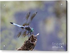 Blue Dasher Dragonfly Acrylic Print by Chris Hill