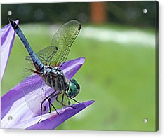Blue Dasher Dragonfly Closeup Acrylic Print by Becky Lodes