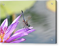 Blue Dasher Dragonfly Doing A Handstand Acrylic Print by Becky Lodes