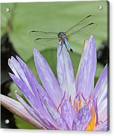 Blue Dasher Dragonfly On Waterlily Acrylic Print by Becky Lodes