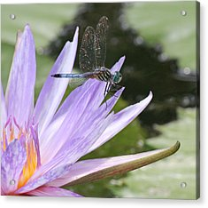 Blue Dasher Dragonfly With Iridescent Wings Acrylic Print by Becky Lodes