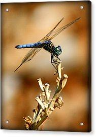 Blue Dragonfly Acrylic Print by Tam Graff