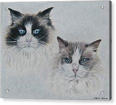 Blue Eyed Cats Acrylic Print by Marla Saville